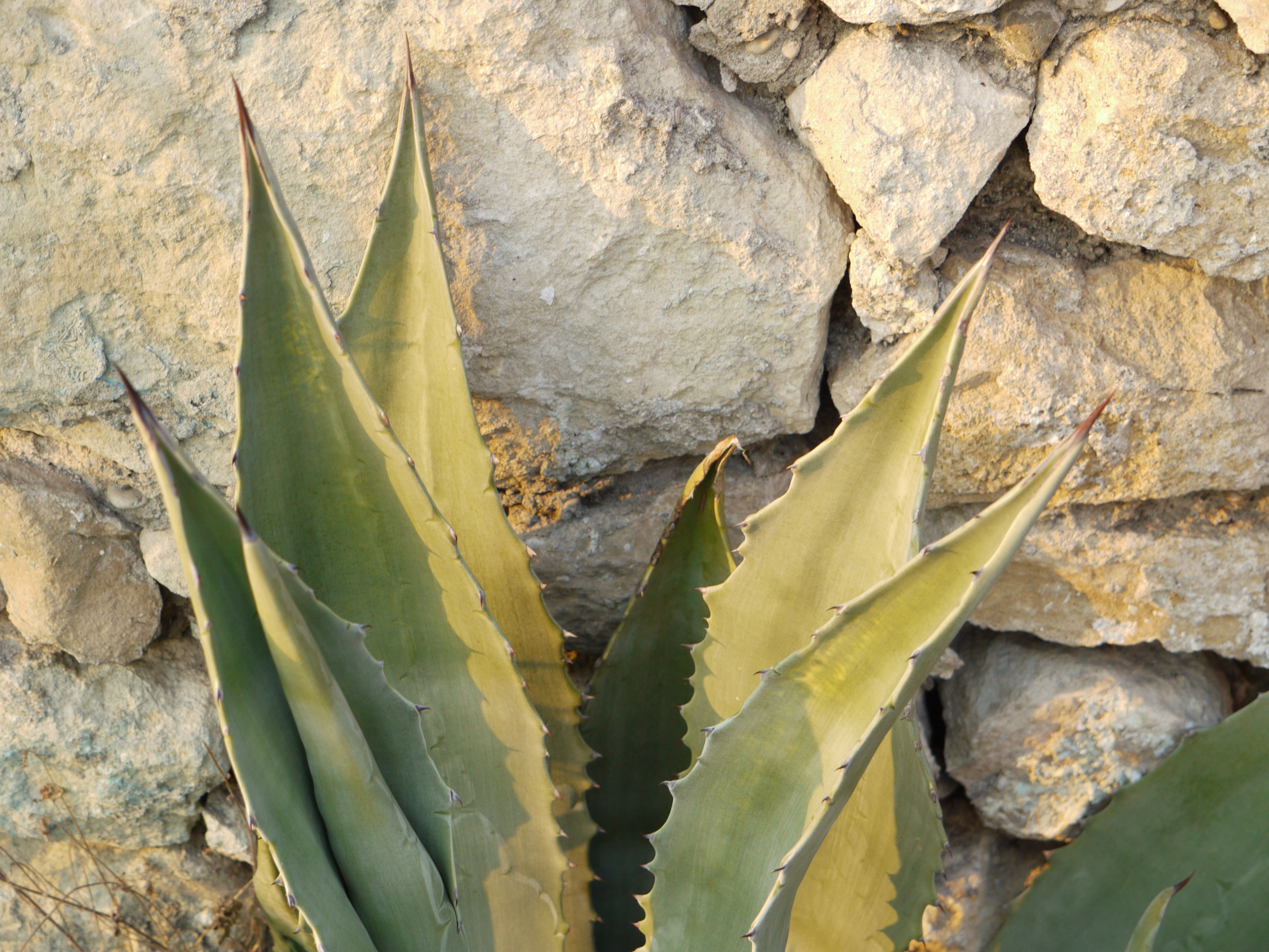 agave1 OUTDOOR ROOMS